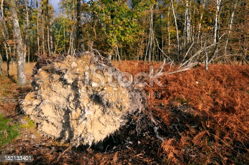 Uprooted tree among ferns in the forest de Sillé in France, department of the sarthe