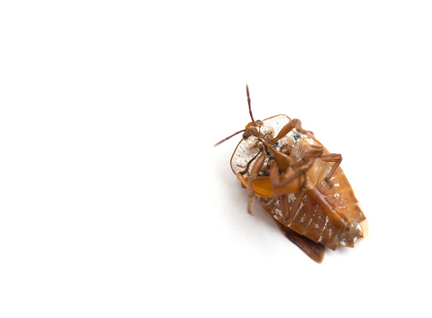 istock upside down bed bug on white background 700570760