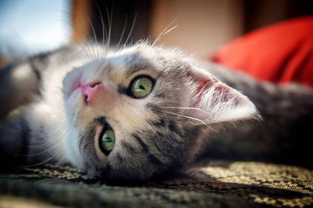 Upside down kitten picture id836376042?b=1&k=6&m=836376042&s=612x612&w=0&h=b2aw mp9f4cp9zcopdc470eev0ig e9augj8xewxvog=