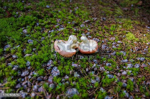 2 upside down mushrooms on forest ground