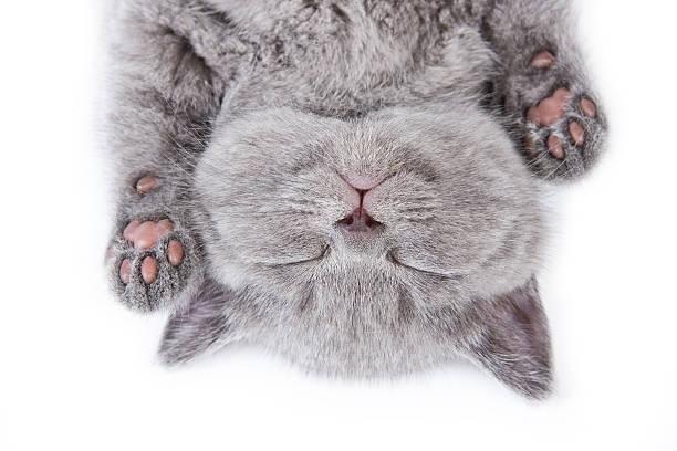Upside down sleeping british kitten on a white background picture id156211051?b=1&k=6&m=156211051&s=612x612&w=0&h=zjwiystyri kjtapmiiy81lv2g wz7pv ctzngkg4c4=