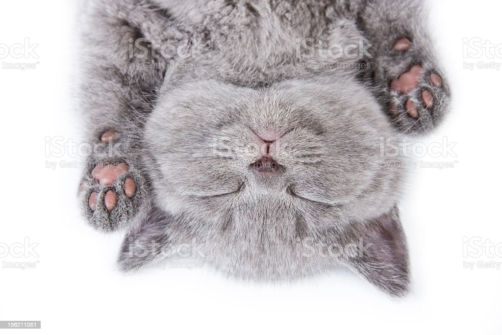 Upside down sleeping British kitten on a white background stock photo