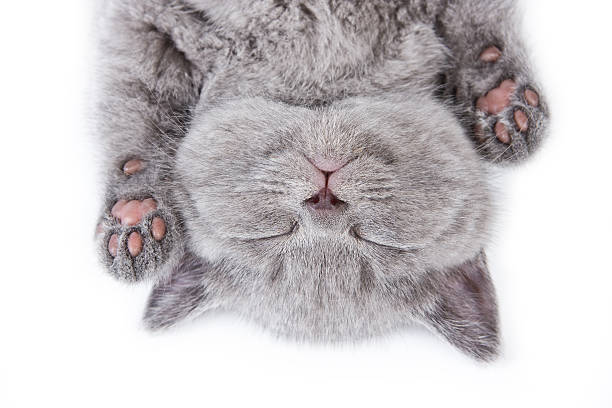 Upside down sleeping British kitten on a white background British kitten on white background lying on back stock pictures, royalty-free photos & images