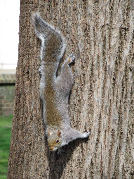 Upside Down Squirrel stock photo