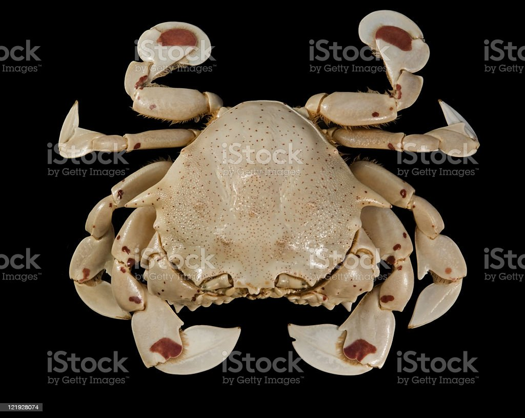 upside of a moon crab stock photo