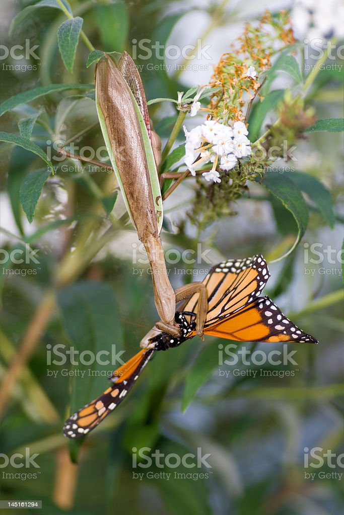 Upside-down Praying Mantis Eating Monarch Butterfly stock photo