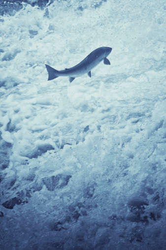 A large salmon makes it's way through the rapids upstream.