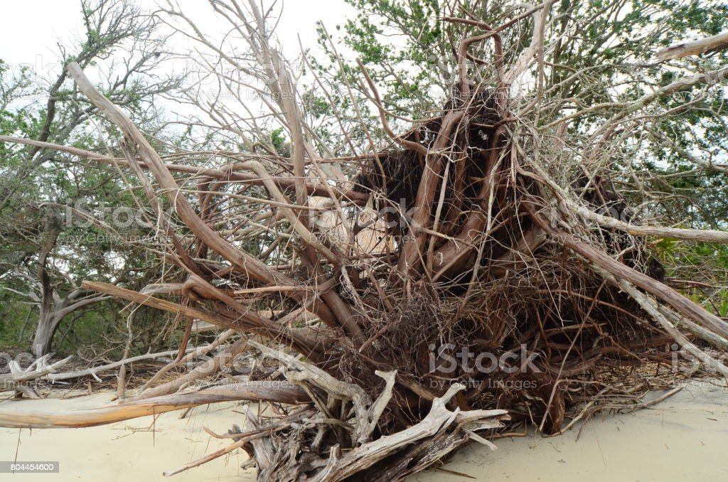 Dead, toppled tree with root structure exposed and weathered on...