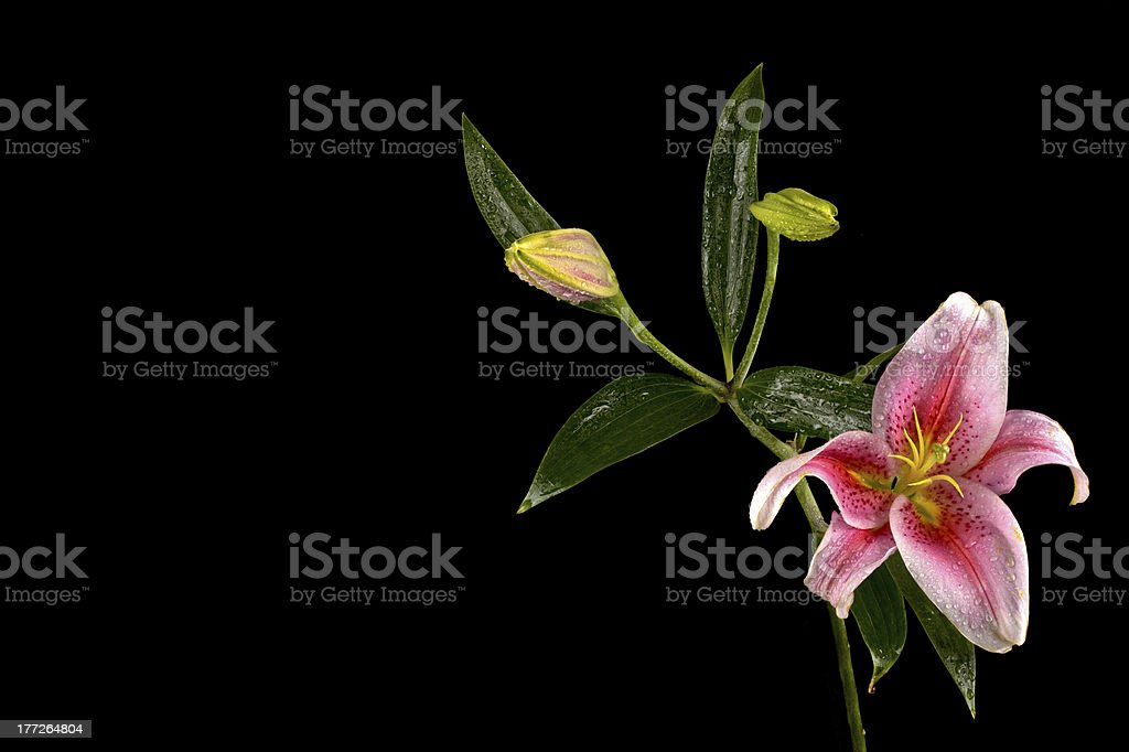 Upturned Pink Stargazer lily with two buds isolated on black stock photo