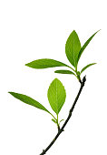 Upward growth green plants isolated white