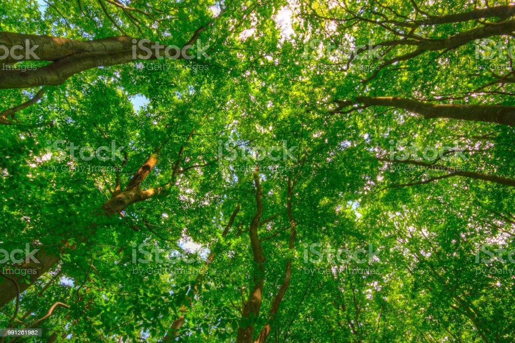 Upward view of Common Beech (Fagus sylvatica) trees stock photo