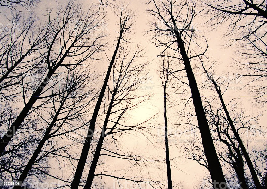 upward view of trees in winter royalty-free stock photo