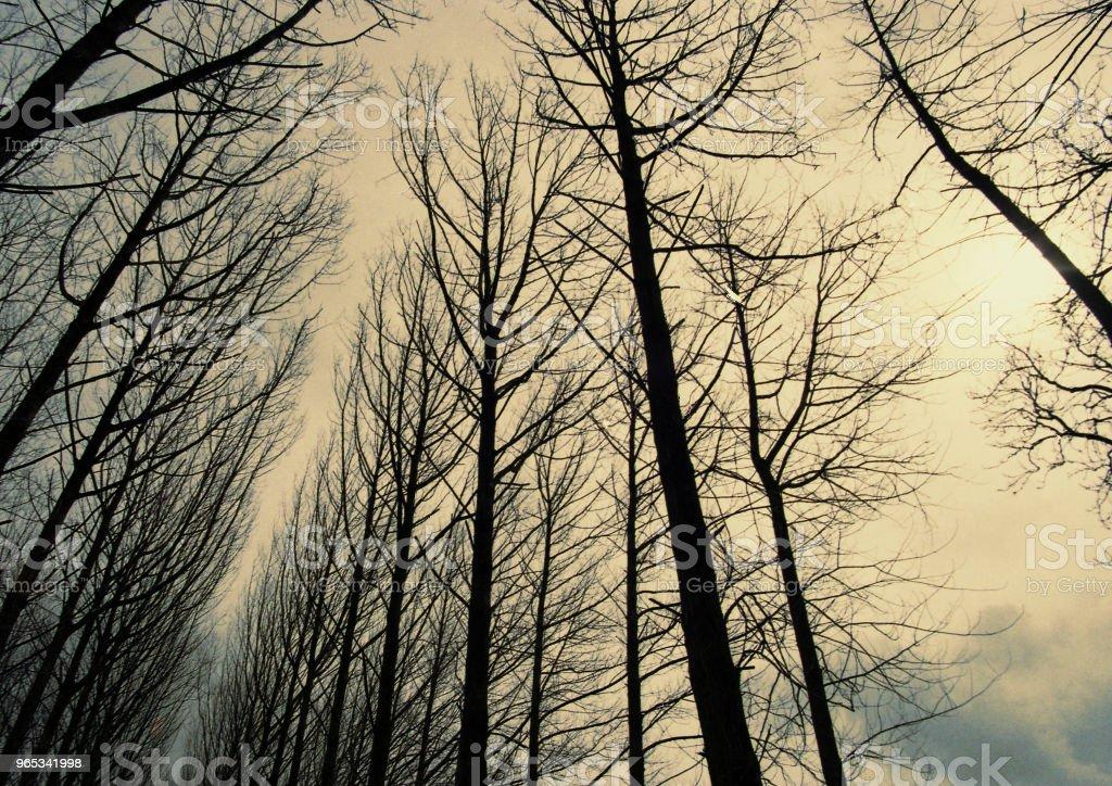 upward view of trees in winter zbiór zdjęć royalty-free