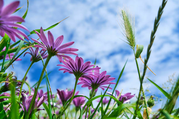 upward view of wild purple flowers against a blue sky at newquay, cornwall on a sunny june day. - cornwall stock pictures, royalty-free photos & images