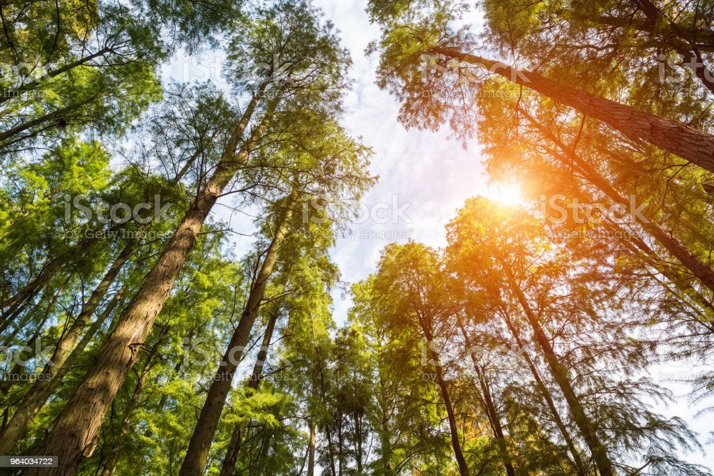 upward view the woods - Royalty-free Asia Stock Photo