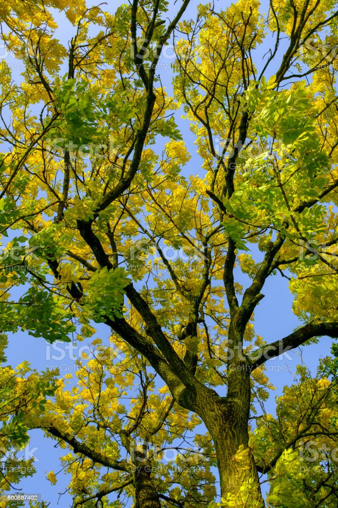 Upwards shot of golden or yellow leaves on a Golden Ash tree stock photo