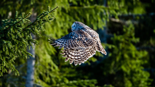 Ural owl flying in the fir forest with sunshine on its back stock photo
