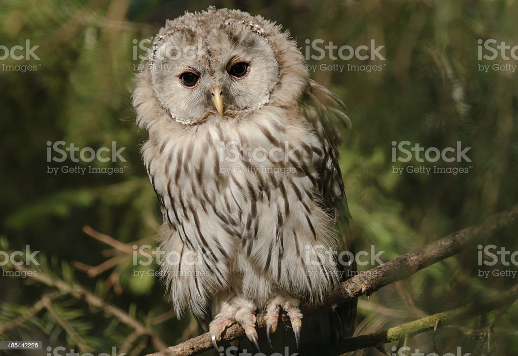 Ural owl on a branch in a zoo stock photo