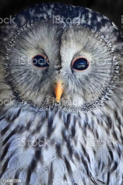 Ural owl picture id1143977239?b=1&k=6&m=1143977239&s=612x612&h=xev2ih3gaolqk0dsbe1 ei4j8sfg9kys41cattqwh3a=