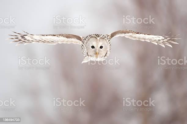Ural owl picture id136494703?b=1&k=6&m=136494703&s=612x612&h=xmewl28ukqywer3fny5ihawz2ozw27lavqxd6ehq3re=