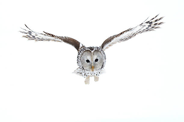 ural owl - owl stock photos and pictures