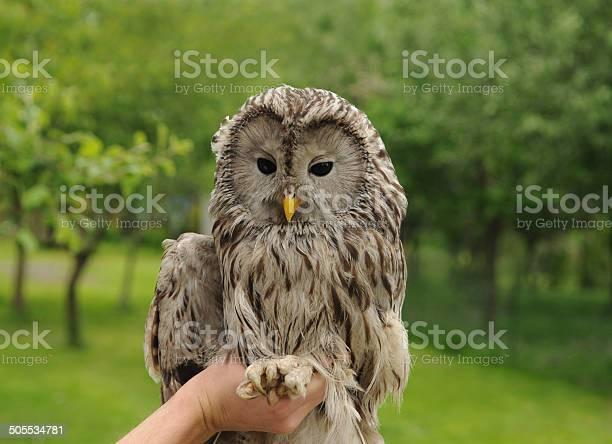 Ural owl picture id505534781?b=1&k=6&m=505534781&s=612x612&h=czcf6drz1vckus77o5oxdfo3gultsigagciyax0elb8=