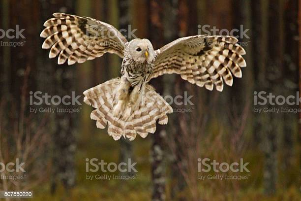 Ural owl picture id507550220?b=1&k=6&m=507550220&s=612x612&h=ez ixnlyci 8 gkuv5ni8 s5r7t8gzbgqn7guursss4=