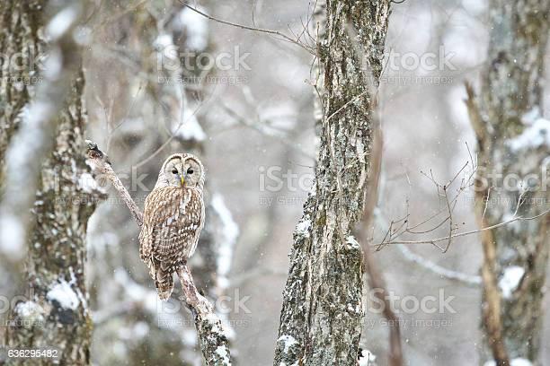 Ural owl picture id636295482?b=1&k=6&m=636295482&s=612x612&h=ucgh0i ooufjrbxkifab3l8kqwohl36wmw0f4kyq5vk=