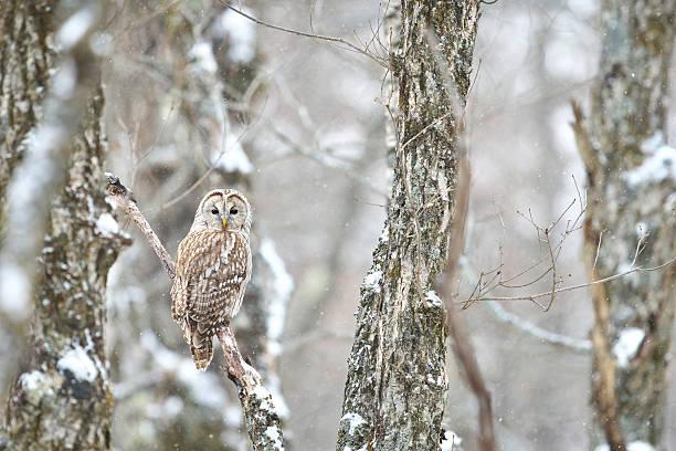 Ural owl picture id636295482?b=1&k=6&m=636295482&s=612x612&w=0&h=tjqpnthl0 qo8ea sgc5xvitbbxlkzfkpmkhi1dhff4=