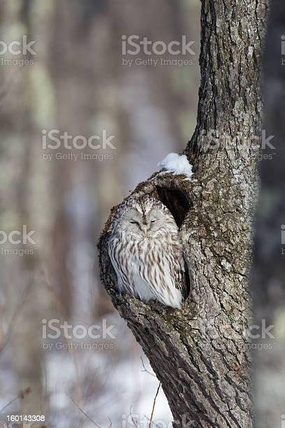 Ural owl sitting in tree picture id160143308?b=1&k=6&m=160143308&s=612x612&h=3oqccwaxx8xv8svhzyk6earrg5e31sz0nq4uyft7o3q=