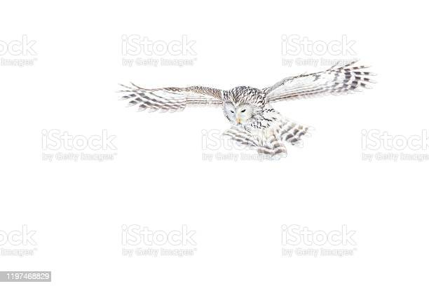Ural owl strix uralensis flying isolated on white background picture id1197468829?b=1&k=6&m=1197468829&s=612x612&h=7rdbd7zcbiqjynuhbpo7s9c30naesb7pr9bb cq0fhw=