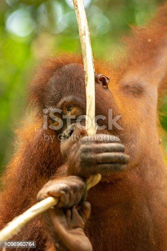 Urang utang hanging on rope Borneo malaysia