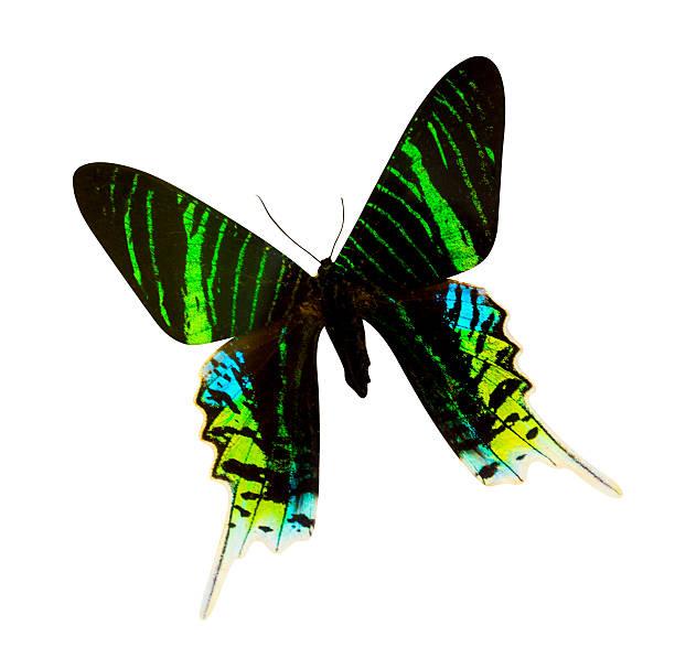 urania madagascar butterfly isolated - weltzeituhr stock-fotos und bilder