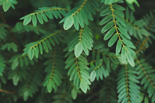 Urban Acacia leaves on branch. City park sunset