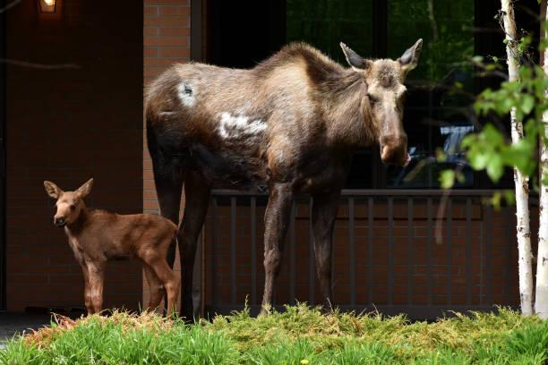 Urban Alaska Moose (Alces alces) with calf stock photo