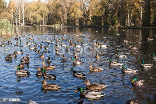 Urban autumn park with lots of wild ducks and drakes on pond on sunny morning.