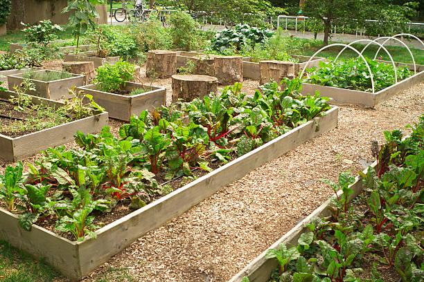 urbane community garden - mangoldgemüse stock-fotos und bilder
