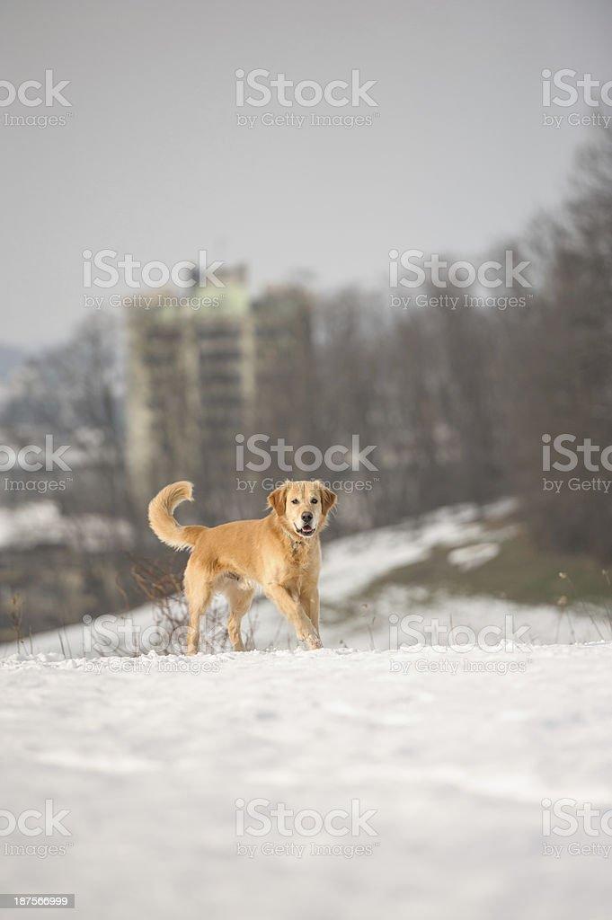 Urban dog royalty-free stock photo