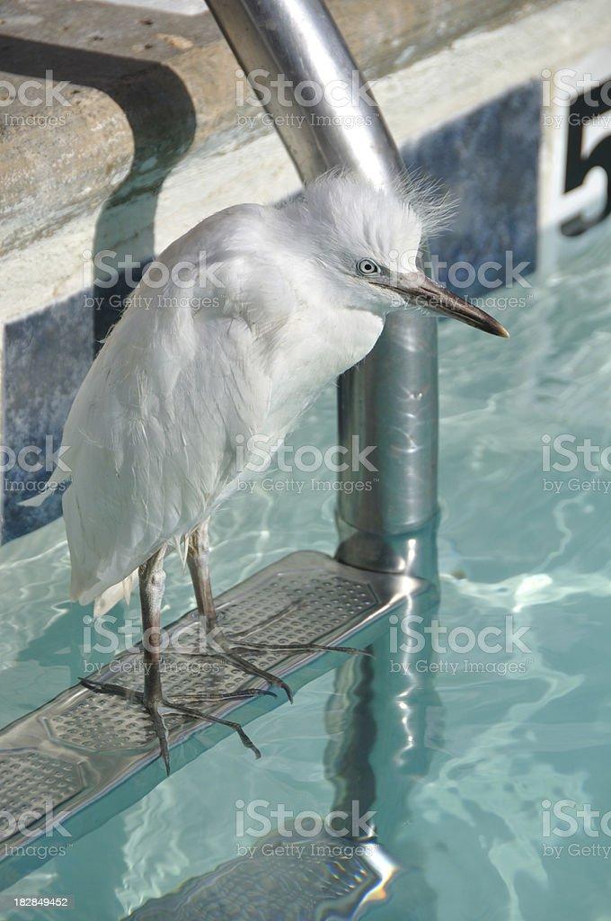 Urban Egret stock photo