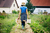 An urban farmer carrying crates of freshly harvested potatoes back to the house.