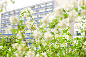 White blossoms in front of an apartment building in Paris
