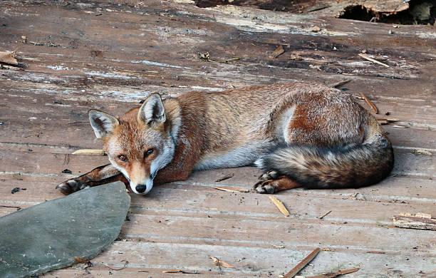 urban fox vixen lying in a london garden - whiteway fox stock photos and pictures
