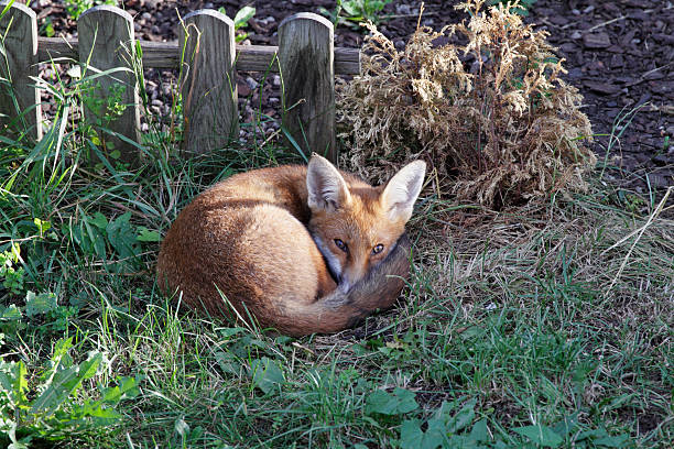urban fox cub resting in london garden - whiteway fox stock photos and pictures