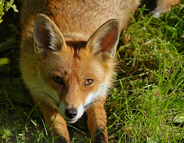 fox head ears pricked alert - whiteway fox stock photos and pictures