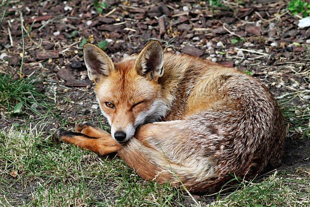 urban fox winking in london garden - whiteway fox stock photos and pictures