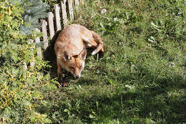 vixen adult urban fox resting in london garden - whiteway fox stock photos and pictures