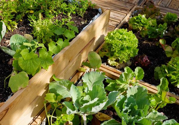 urban gardening - nahaufnahme von verschiedenen kräutern und gemüse - dachgarten stock-fotos und bilder