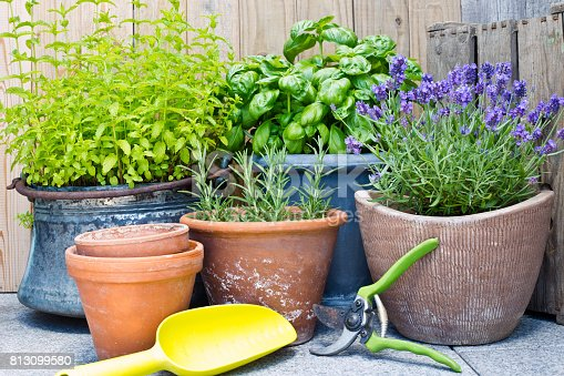Urban gardening, fresh herbs in clay pots