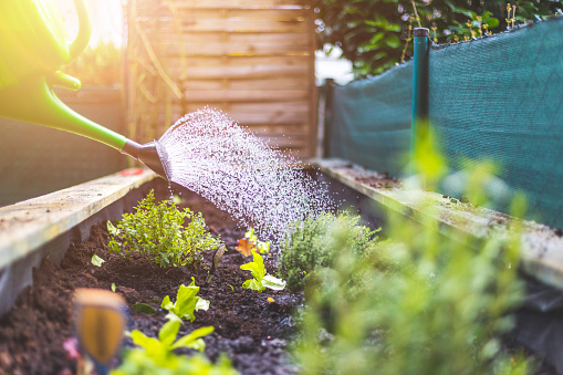 Watering vegetables and herbs in raised bed. Fresh plants and soil.