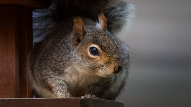 Urban Grey Squirrel. stock photo